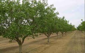 نحوه آبیاری درختان پسته